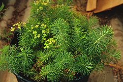 Cypress spurge growing in potted application.