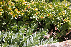 Myrtle spurge in bloom in Garfield County