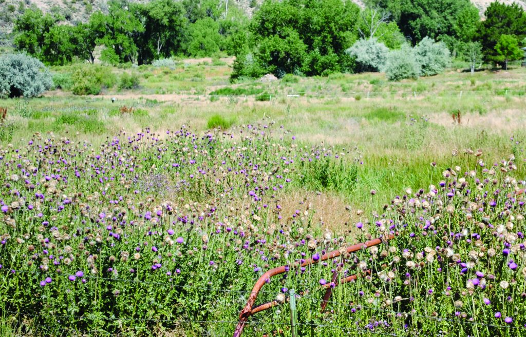 Garfield County aids landowners in controlling noxious weeds