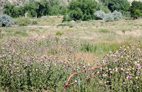Musk thistles in a pasture near Silt.