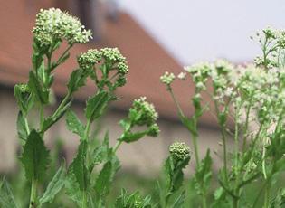 garfield county weeds